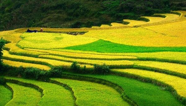 Mơ thấy cánh đồng lúa