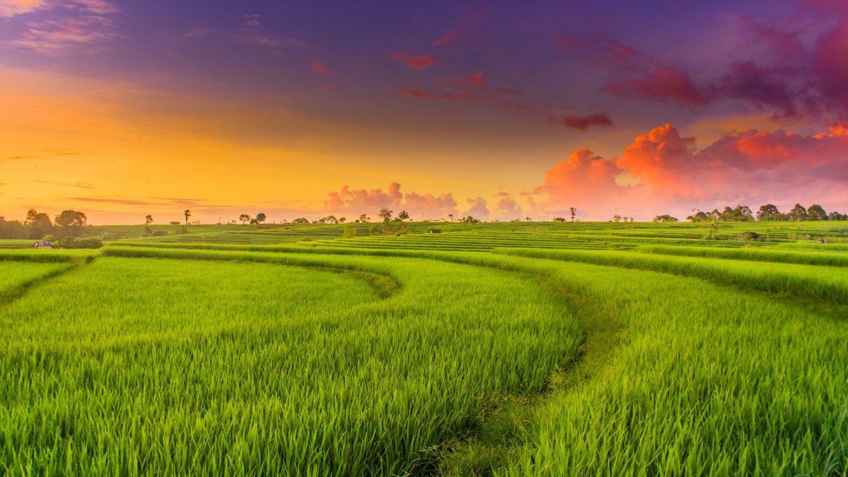 Mơ thấy cánh đồng lúa dự báo điềm gì? Con số may mắn cho bạn