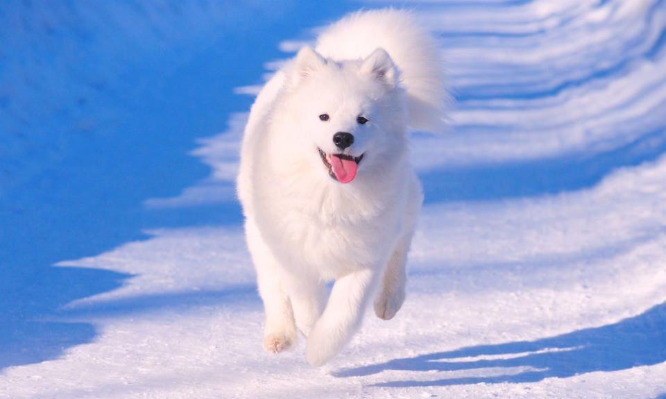 Mơ thấy chó trắng