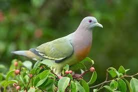 Mơ thấy chim bồ câu là điềm họa hay phúc, đánh số mấy