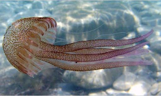Có ý nghĩa thế nào khi mơ thấy con sứa? Giải mã thông điệp về sứa