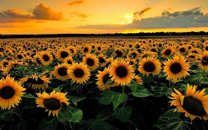 Mơ thấy hoa hướng dương có ý nghĩa gì? Tốt hay xấu?
